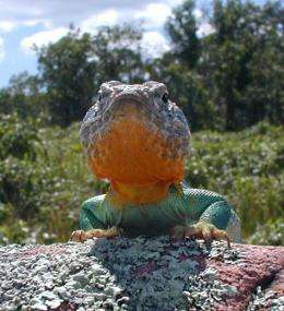 Restoration as science: case of the collared lizard