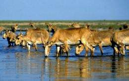 Saiga antelopes are listed as a critically endangered species by the World Wildlife Fund