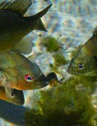 Salmon and other fish predators rely on 'no guts, no glory' survival tactic