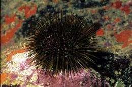 Sea urchins cannot control invasive seaweeds