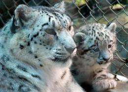 Snow leopard Nita with one of her cubs in the Himalayan Padmaja Naidu Zoological Park in Darjeeling