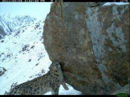 Snow leopard population discovered in Afghanistan
