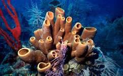Sponge competition may damage corals