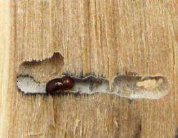 Spread of fungus-farming beetles is bad news for trees