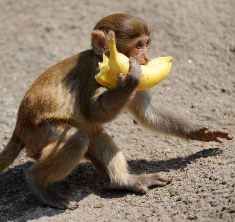 Stray monkeys with an acquired taste for human food still occasionally run about the crowded shopping districts
