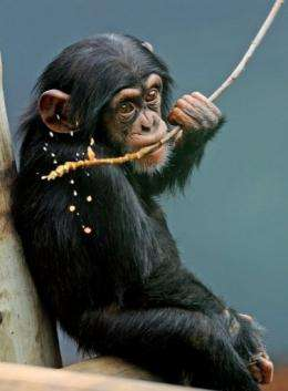 Sule, an 18-month old male Chimpanzee, eats an oatmeal and honey mixture on a stick