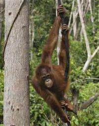 Survey: Indonesians killed 750 orangutans in year (AP)