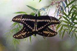Swallowtail butterflies use its legs to taste plants to see which leaves offer its eggs the best chance of survival