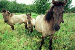 Tarpan horses, a breed that disappeared from the wild in Europe two centuries ago, will soon be reintroduced in Bulgaria