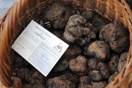 The 2010-11 truffle season's output was a meagre 25 tonnes