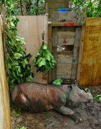The critically endangered Sumatran rhino is a mostly solitary animal except for courtship and rearing young
