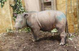 The female rhino was caught on December 18 and is being kept in the Tabin Wildlife Reserve in Sabah