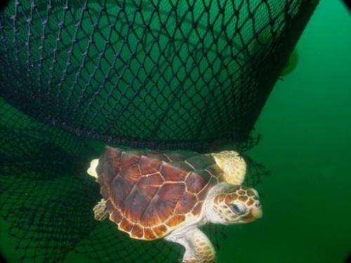 The main threats for sea turtles are getting caught in the nets