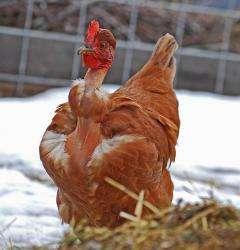 The Transylvanian naked neck chicken