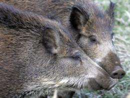 Thirty-one boars have died this month