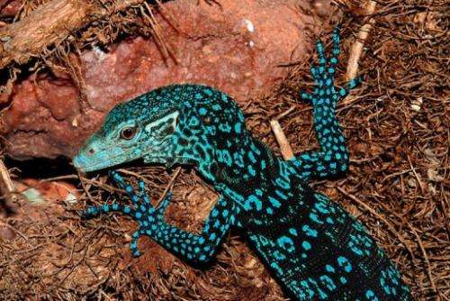 This monitor lizard, Varanus Macraei, was amongst 1,000 new species recently found in New Guinea