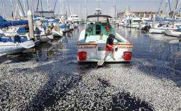 Tons of dead fish pulled from California marina (AP)