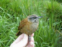Warbling wrens don't just tweet, they sing duets (AP)