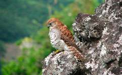 Wetter springs make Mauritius kestrel breed later