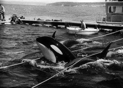 Whale activists sue to free Lolita from captivity (AP)