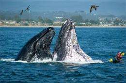 Whales off Calif. coast draw crowds, warning (AP)