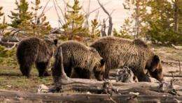 Where will grizzly bears roam?