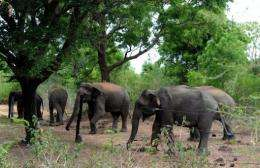 Wild elephants gather near an electric fence holding them back at the Udawalawe wildlife sanctuary in Sri Lanka today