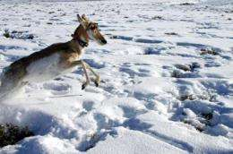 Wildlife Conservation Society and Idaho Fish and Game track pronghorn by satellite
