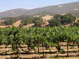 Wine grapevines and native plants make a fine blend, study shows