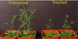 A bit touchy: Plants' insect defenses activated by touch