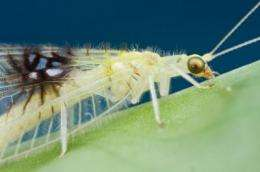 A charismatic new lacewing from Malaysia discovered online by chance