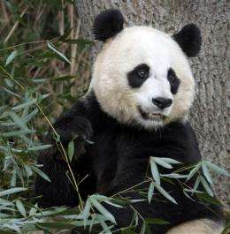 A cub is born to giant panda at National Zoo