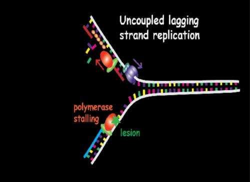A pathway to bypass DNA lesions in the replication process is experimentally shown