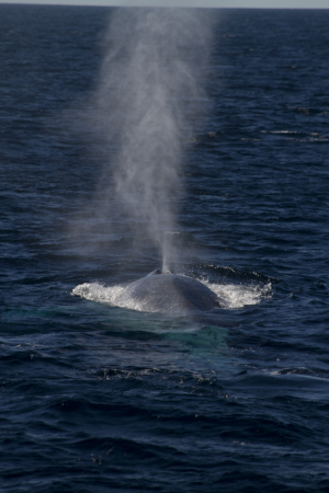 Australian blue whales now call Antarctica home