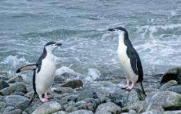 Changing climate, not tourism, seems to be driving decline in chinstrap-penguin populations