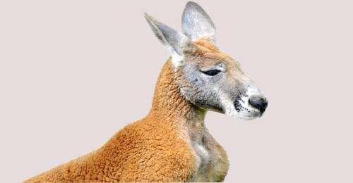 Code of practice on kangaroo killing