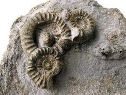 First fruitful, then futile: Ammonites or the boon and bane of many offspring