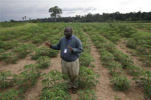 Hardier cassava offers promise for hungry Africa