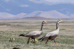 High-flying geese take low profile over Himalayas