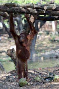 Indonesian zoo moves orangutan to stop her smoking