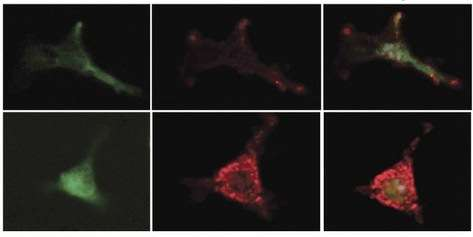 Insights into rare immune cells that keep blood stem cells in a youthful state may lead to better treatments