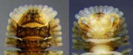 Millipede family added to Australian fauna
