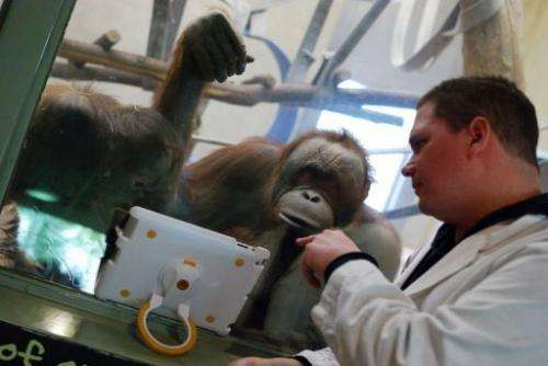 Orangutans watch a video on an iPad held up to the glass of their enclosure by a  volunteer at the Milwaukee County Zoo