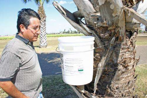 Palm tree-killing weevil found in South Texas
