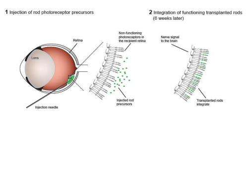 Photoreceptor transplant restores vision in mice