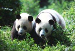 Reproductive seasonality observed in male giant pandas
