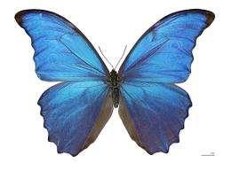 Researchers make better heat sensor based on butterfly wings
