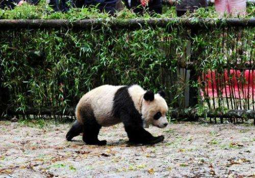 Scientists hope the Taotao project will prove a template for introducing captive-bred pandas into the wild