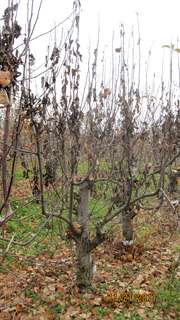 Strep-resistant fire blight found in New York orchards