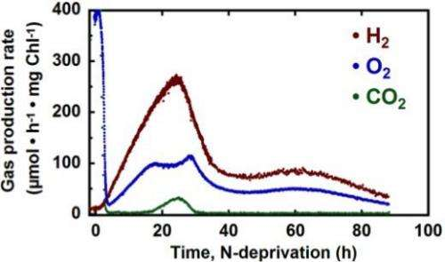 Sustained hydrogen production from cyanobacteria in the presence of oxygen